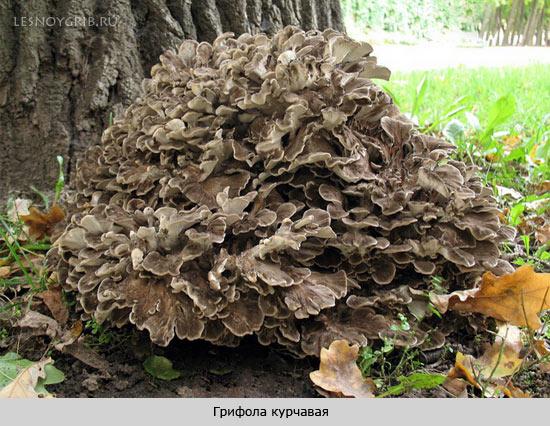 Какие грибы растут на деревьях?