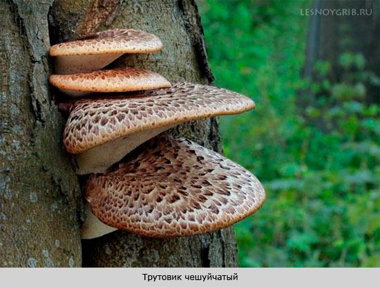 трутовик чешуйчатый на дереве