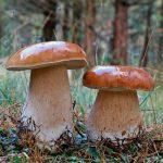 белые грибы растут в лесу