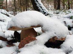 грибы растут зимой