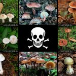 смертельно ядовитые грибы